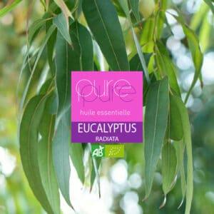 Eucalyptus Radiata : une huile essentielle expectorante